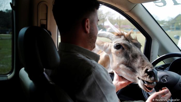 Ein Zoomitarbeiter im Safariland Stukenbrock füttert eine Eland-Antilope.  Der Park ist einer der ersten, der nach der Sperrung des Coronavirus in Deutschland wiedereröffnet wurde.